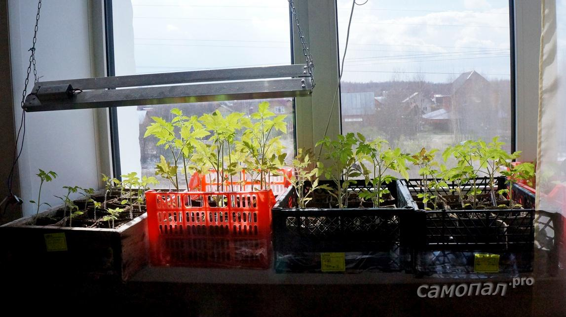 Выращивание рассады под лампой 42